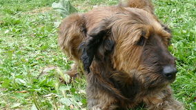 Stor brun hund som ligger på gräset lager videofilmer