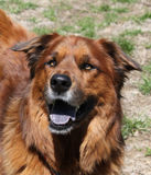 Stor brun hund som ser lycklig Royaltyfri Fotografi