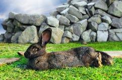 Stor brun kanin som vilar på gräs royaltyfri foto