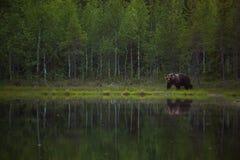 Stor brunbjörn med en reflexion Arkivfoto