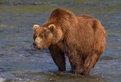 Stor brunbjörn med en uttalad knöl Royaltyfri Bild