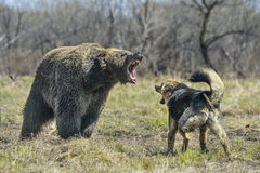 Stor brunbjörn med hunden royaltyfria bilder