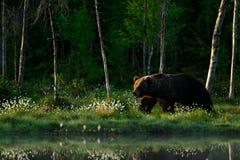Stor brunbjörn som går runt om sjön i morgonsolen Arkivfoto