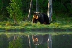 Stor brunbjörn som går runt om sjön i morgonsolen Farligt djur i skogdjurlivplatsen från Europa Brun fågel i t royaltyfri bild