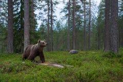 Stor brunbjörn som sniffar i en taigaskog Royaltyfria Bilder