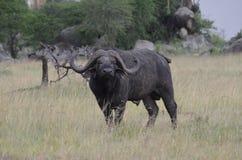 Stor buffel i serengetinationalpark i Tanzania Fotografering för Bildbyråer