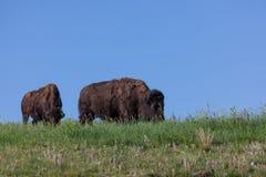 Stor buffel på en bergstopp royaltyfri fotografi