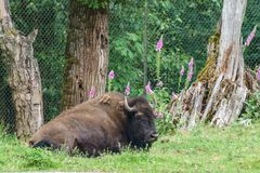 Stor buffel på en ranch eller en zoo Royaltyfria Foton