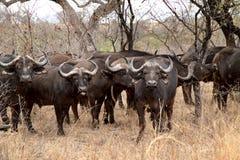 Stor buffelflock Arkivbilder