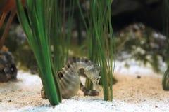 Stor-buk Seahorse Arkivfoto