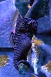 Stor-buk seahorse eller kruka-buktad seahorse, Hippocampusabdominalis royaltyfri foto