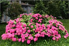 Stor buske av en rosa vanlig hortensia i en trädgård Arkivbild