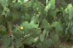 Stor buske av kaktuns som blommas med gula blommor royaltyfria bilder