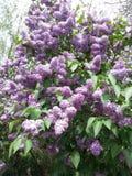 Stor buske av ljus - purpurfärgade lilor Arkivfoton