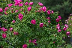 Stor buske av röda rosor royaltyfria foton