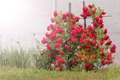 Stor buske av r?da rosor arkivbild