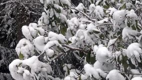 Stor buske i staten Washingtonskog med snö som traver upp arkivfilmer