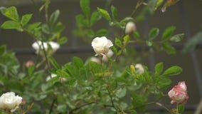 Stor buske med blomningvit-rosa färger rosor för vertikalt landskap Under regnet 4k ultrarapid arkivfilmer