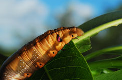 stor caterpillar Arkivfoton