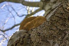 Stor champinjon på ett träd Arkivfoton