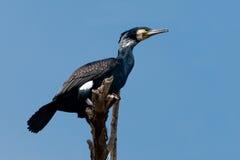 Stor Cormorant arkivbilder