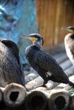 stor cormorant Royaltyfria Foton