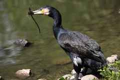 stor cormorant Arkivfoton