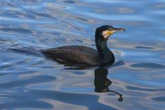 stor cormorant Fotografering för Bildbyråer