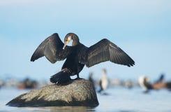 stor cormorant Arkivfoto