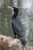 stor cormorant Royaltyfria Bilder
