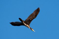 stor cormorant arkivbild
