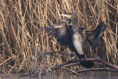 Stor Cormorant i vinter royaltyfri fotografi