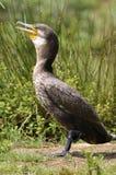 Stor Cormorant på jordning royaltyfria bilder