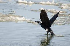 Stor Cormorant/svart Shag royaltyfria foton