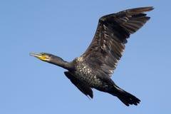 Stor Cormorantfågel i flyg Royaltyfria Foton