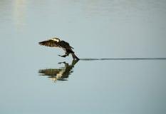 Stor Cormorantlandning Arkivfoto