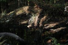Stor cypress, björnö, Everglades, Florida Arkivbilder