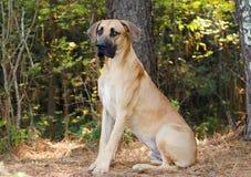 Stor Dane Mastiff hund royaltyfri fotografi