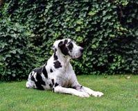 stor danehund royaltyfria bilder