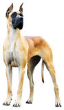 stor danehund Royaltyfria Foton