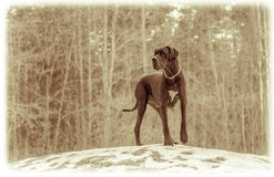 stor danehund Fotografering för Bildbyråer