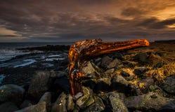 Stor drivved för trädstubbe på stranden Arkivbilder
