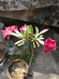 Stor dubbel Adenium Royaltyfri Foto