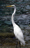 stor egret royaltyfri foto
