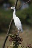 stor egret 2 Arkivfoton
