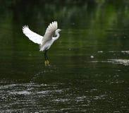 stor egret Arkivbild
