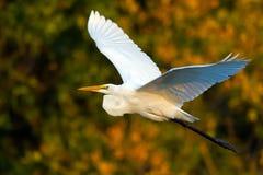 stor egret royaltyfria bilder