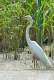 stor egret Arkivfoton