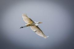 stor egret 2 Royaltyfri Foto