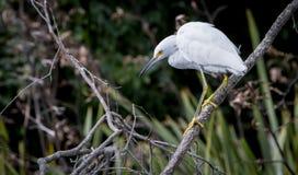 stor egret Royaltyfria Foton